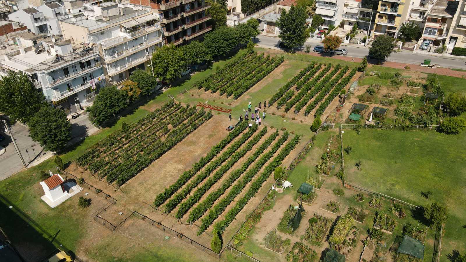 Τρύγος για τις λευκές ποικιλίες του αστικού αμπελώνα – Διπλάσια η φετινή παραγωγή