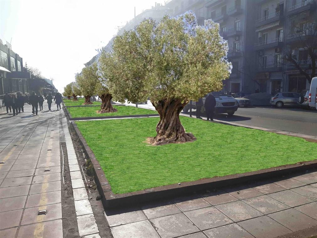 Τριάντα υπεραιωνόβια ελαιόδεντρα στην οδό Αγγελάκη σε αντικατάσταση επικίνδυνων δέντρων (λεύκες)